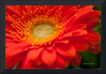 The Gerbera from the Hot Place