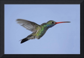 Broad-Billed Hummingbird Photograph