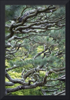 evergreen branches japan