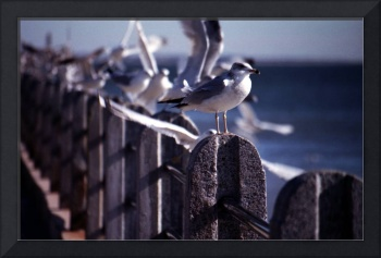 Battery Gulls, Charleston, SC