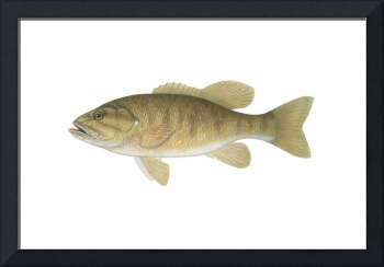 Illustration of a smallmouth bass