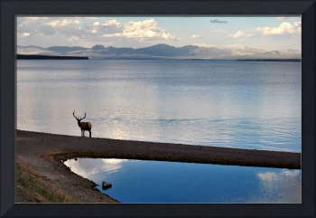 Elk by the Shore