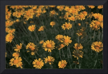 Magic Forest - Coreopsis