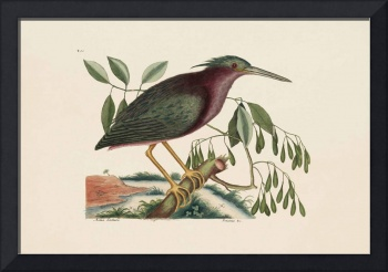 Mark Catesby~The Small Bittern, The Natural Histor