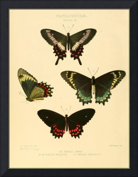 Illustrations of new species of exotic butterflies