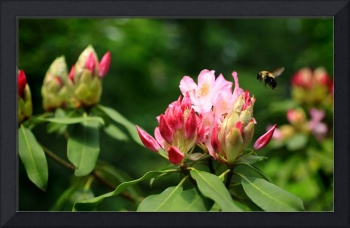 Bee Flying to Rhododendron Blossom