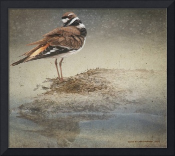 pond killdeer study