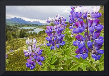 Lupine Flowers Near Lost Lake, Seward, Chugach Nat