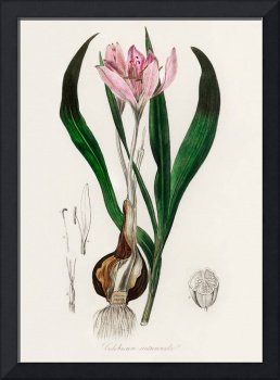 Vintage Botanical Autumn crocus