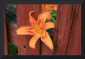 Floral Day Lily
