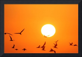 Seagulls Flying Infront of the Sun