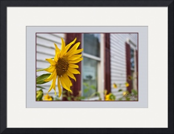 Sunflower and Windows by D. Brent Walton