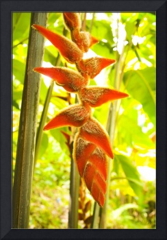 Hawaii, Oahu, Heliconia Plant Hanging