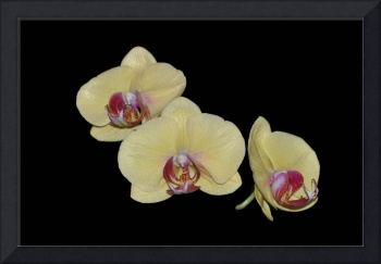 Three Pale Yellow Orchids on Black