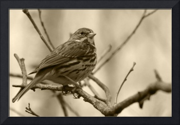 Song Sparrow on a Branch