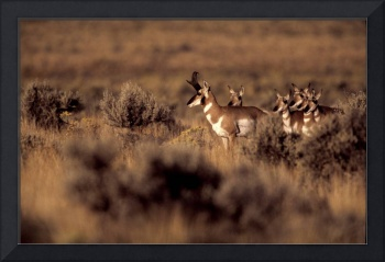 Pronghorn Morning