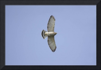 Broad-Winged Hawk Photograph