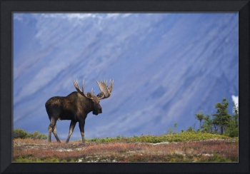 Bull Moose, Powerline Pass, Chugach State Park, Ch