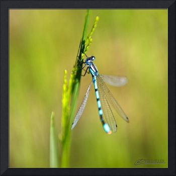 Blue Dragonflies and Green Grass