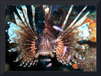 Caribbean Reef Lion Fish defending its Coral home