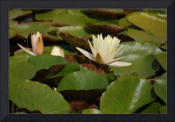 white waterlily