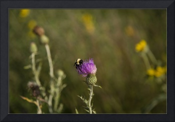 Bumble Bee Collecting Pollen on a Thistle