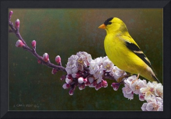 rivals in color / goldfinch and blossoms