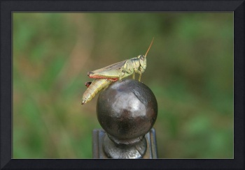 Grasshopper perch