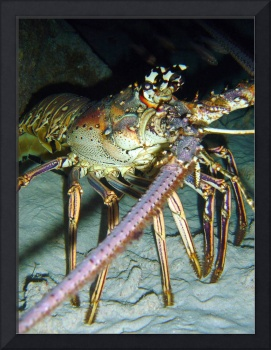 Caribbean spiny lobster (Panularis argus)