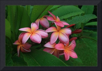 Melia hae Hawaii Tropical Plumeria Keanae