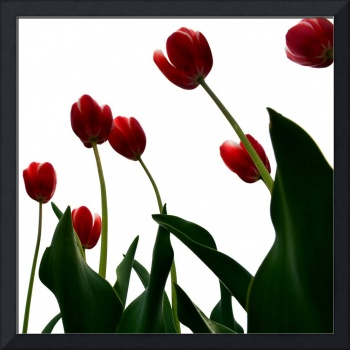 Red Tulips from the Bottom Up ll