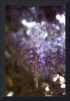 Wisteria Beauty