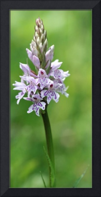 Common Spotted Orchid 29