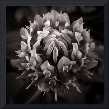 Red Clover In Black And White lll