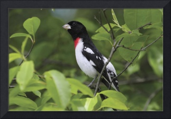 Rose-Breasted Grosbeak Photograph