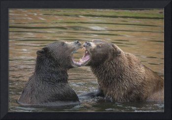 Bears Wrestling Tooth to Tooth