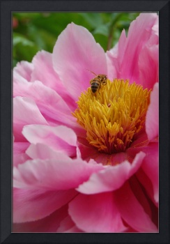 pink peony flower with bee