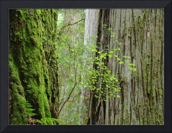Redwood Trees art prints Big Redwoods artwork