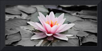 Water Lily - ID 16217-202753-7789