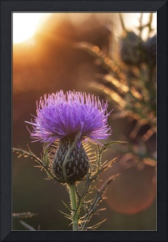 Sunset and Thistle