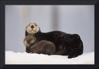 Female Sea Otter On A Snow Mound With Newborn Pup,