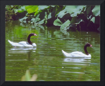2 Black and White Swans Swimming