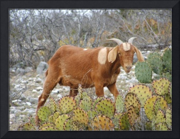 Brown boer goat