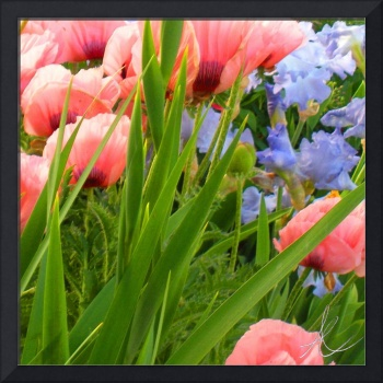 Pink Poppies & Ice Blue Irises 4