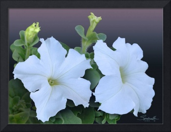 Two White Petunia Blossoms