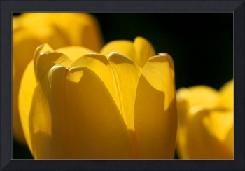 Yellow Tulips with Black Background
