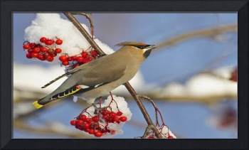 Male Waxwing Bird Loves His Red Berries