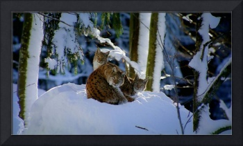 Lynx Cat In Bavarian Forest, Germany