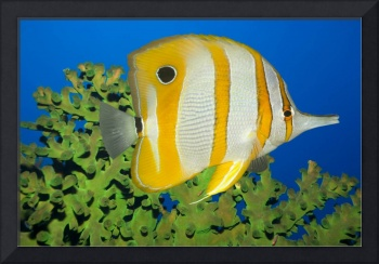 Tropical fish Butterflyfish.