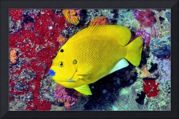 Blue Mouthed Angelfish